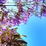 Jacarandas in Full Splendor