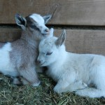 Goat Gives Birth to Two Kids During Larchmont Family Fair