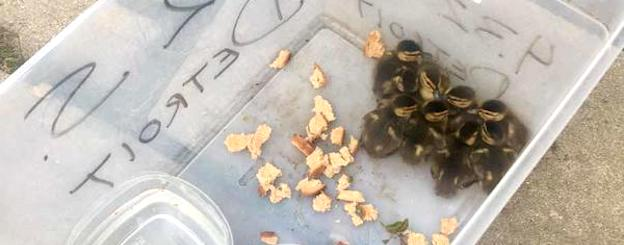 Baby ducks found in Miracle Mile, human neighbors trying to figure out how to help