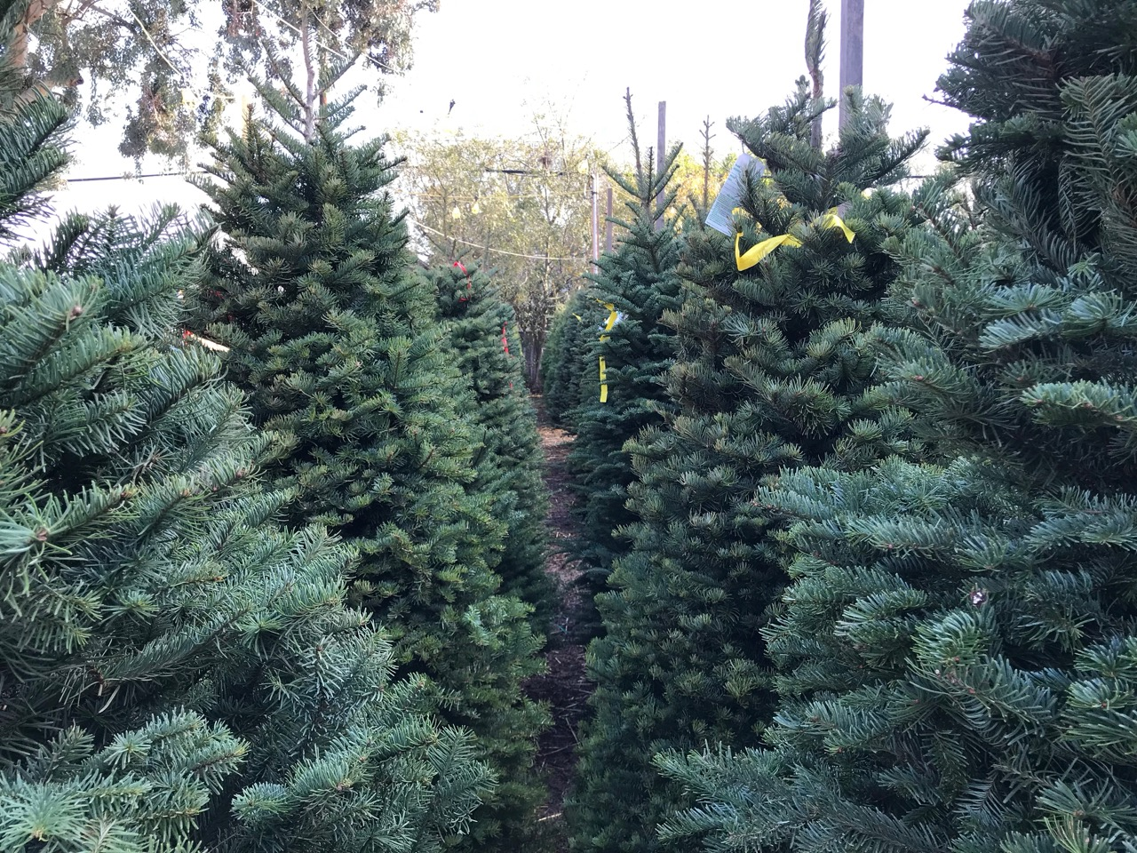 Wilshire Rotarys Larchmont Christmas Tree Lot Does A Lot More Than